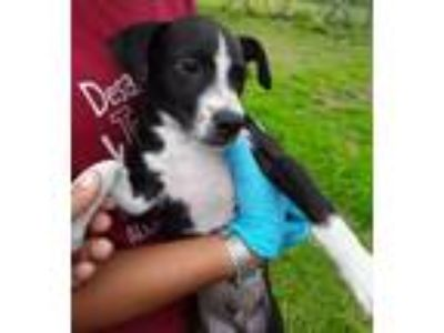 Adopt Rufus a Black - with White Border Collie / Mountain Cur / Mixed dog in