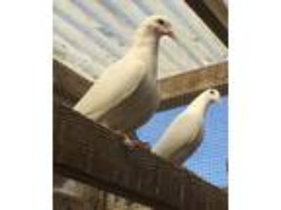 Adopt Chilly a White Pigeon bird in San Francisco, CA (17606918)