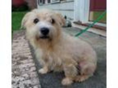 Adopt Teddy a West Highland White Terrier / Westie, Poodle