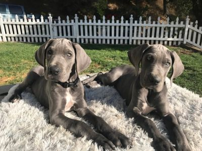 Great Dane PUPPY FOR SALE ADN-75872 - Great Dane Pups AKC Blue Champ Lines