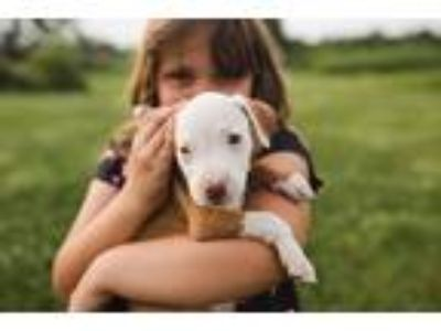 Adopt Sawyer a White - with Red, Golden, Orange or Chestnut Pit Bull Terrier /