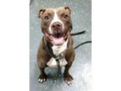 Adopt SUNDAY 38476 a Pit Bull Terrier