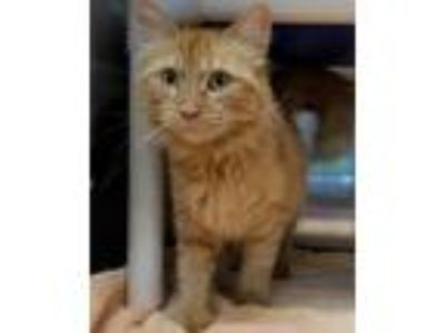 Adopt Maddie a Orange or Red Domestic Mediumhair / Mixed (medium coat) cat in