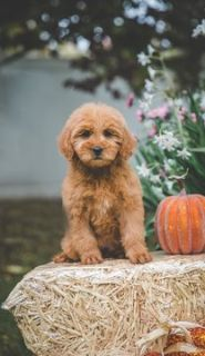 Goldendoodle PUPPY FOR SALE ADN-99576 - Mini Goldendoodle puppies ready to go home Nov 7