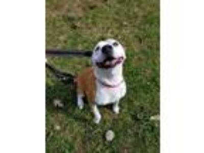 Adopt Cosmo a American Staffordshire Terrier, Border Collie