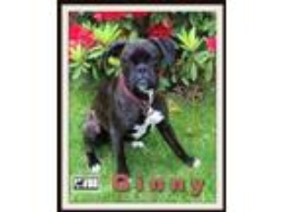 Adopt Ginny a Brindle Boxer / Mixed dog in Woodinville, WA (25945307)
