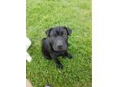 Adopt Raven a Black Shar Pei / Labrador Retriever / Mixed dog in Fort Worth