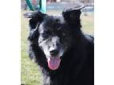 Adopt Kelly a Border Collie