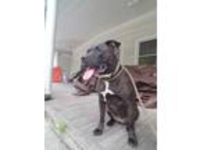 Adopt Mia a Black - with Brown, Red, Golden, Orange or Chestnut Pit Bull Terrier