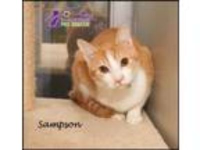 Adopt Sampson a Domestic Short Hair