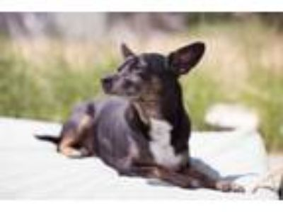 Adopt Travolta a Miniature Pinscher