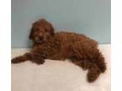 Adopt Finn a Irish Setter / Poodle (Standard) dog in Manhattan, NY (25547353)