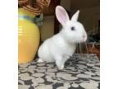 Adopt Skye a White Dwarf / Mixed (short coat) rabbit in Livermore, CA (25347969)