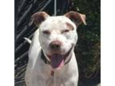 Adopt LOU a White - with Brown or Chocolate Pit Bull Terrier / Labrador