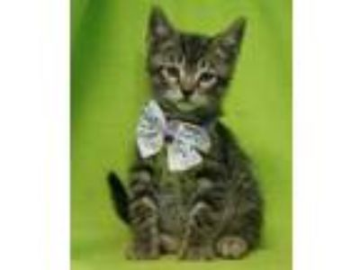 Adopt Milano a Brown or Chocolate Domestic Shorthair / Domestic Shorthair /