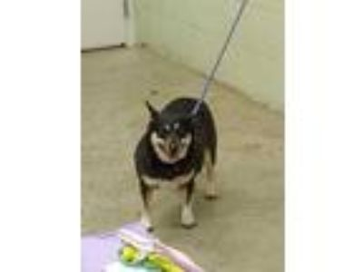 Adopt Missy T a Black Corgi / Mixed dog in Hutchinson, KS (25363710)