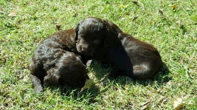 Boykin Spaniel PUPPY FOR SALE ADN-52738 - Dixie Boykin Spaniel Puppies