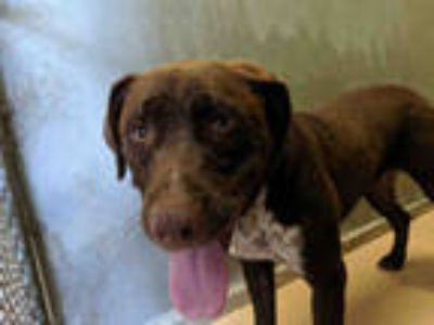 Adopt BENGI a Brown/Chocolate - with White Labrador Retriever / Mixed dog in