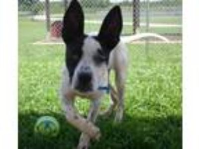 Adopt French Fry (See Memo) a Parson Russell Terrier, Cattle Dog