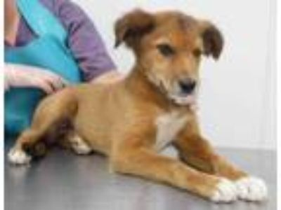 Adopt Bruno a Tan/Yellow/Fawn Husky / Anatolian Shepherd / Mixed dog in Morton