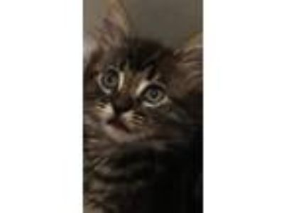 Adopt Serenity a Brown Tabby Domestic Longhair (long coat) cat in Nuevo