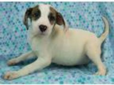 Adopt Colette a White Hound (Unknown Type) / Mixed dog in Morton Grove