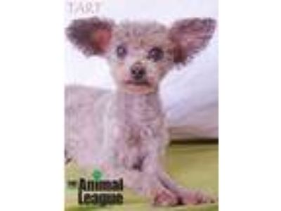 Adopt Tart a Gray/Blue/Silver/Salt & Pepper Miniature Poodle / Mixed dog in