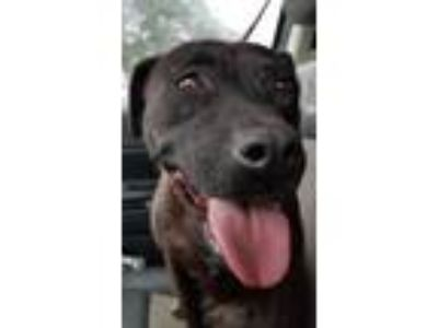 Adopt Lucy Meyer a Black Pit Bull Terrier / Labrador Retriever / Mixed dog in