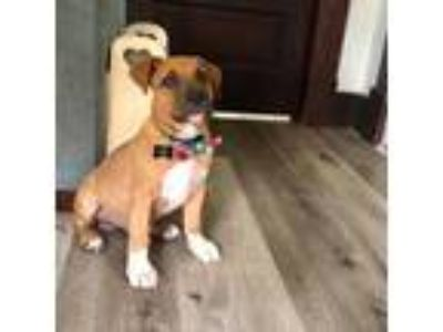 Adopt Big a Pit Bull Terrier