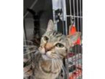 Adopt Gummy a Brown or Chocolate Domestic Shorthair / Domestic Shorthair / Mixed