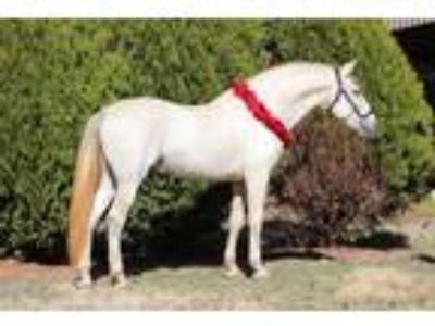 Selling As Breeding Stallion ANCCE Revised by The Califido Stallion Copon