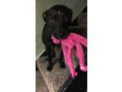 Adopt Zeus a Black Labrador Retriever / American Pit Bull Terrier / Mixed dog in