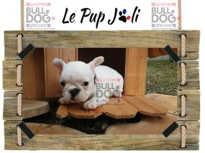French Bulldog PUPPY FOR SALE ADN-87831 - Beautiful and adorable French Bulldog 1750