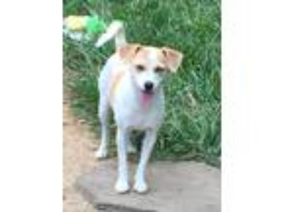 Adopt Momma a White - with Tan, Yellow or Fawn Jack Russell Terrier / Mixed dog