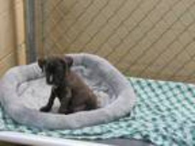 Adopt Jewels a Black Terrier (Unknown Type, Small) / Mixed dog in West Memphis
