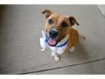 Adopt Barbra Jean a Red/Golden/Orange/Chestnut Staffordshire Bull Terrier /