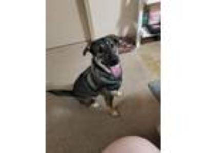 Adopt Echo a Brown/Chocolate - with White German Shepherd Dog / Husky dog in