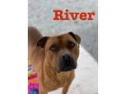 Adopt River a Boxer, Pit Bull Terrier
