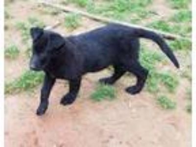 Adopt Pearl a Black German Shepherd Dog / Labrador Retriever / Mixed dog in