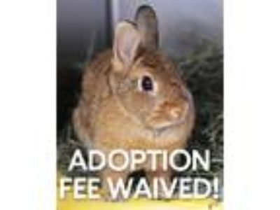 Adopt Beebee a Netherland Dwarf / Mixed rabbit in Novato, CA (25367832)