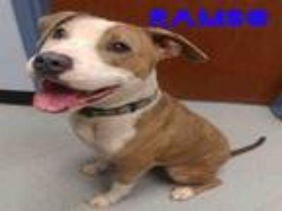 Adopt RAMBO a Pit Bull Terrier, Mixed Breed