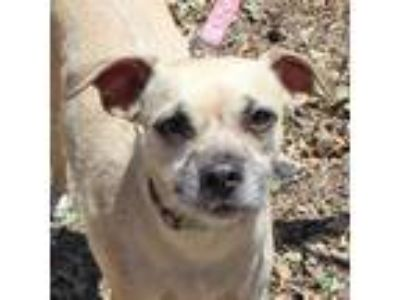 Adopt Morrison a Tan/Yellow/Fawn - with Black Rat Terrier / Mixed dog in Walnut
