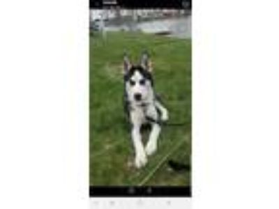 Adopt Reggs a Black - with White Husky / Husky dog in North Branch