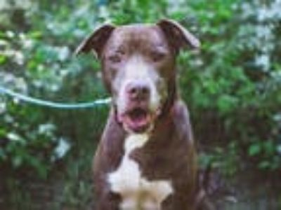 Adopt NOG a Brown/Chocolate Labrador Retriever / Mixed dog in Atlanta