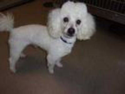 Adopt Jacob a White Poodle (Toy or Tea Cup) / Mixed dog in Arlington