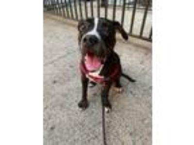 Adopt Hikari a Pit Bull Terrier