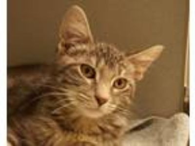 Adopt Manji a Gray, Blue or Silver Tabby Domestic Shorthair (short coat) cat in