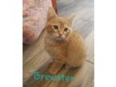 Adopt Brewster a Domestic Shorthair / Mixed (short coat) cat in Henderson
