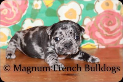 Blue Merle French Bulldogs