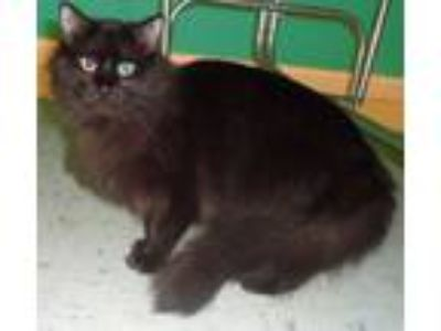 Adopt Shaki a Maine Coon, Domestic Long Hair